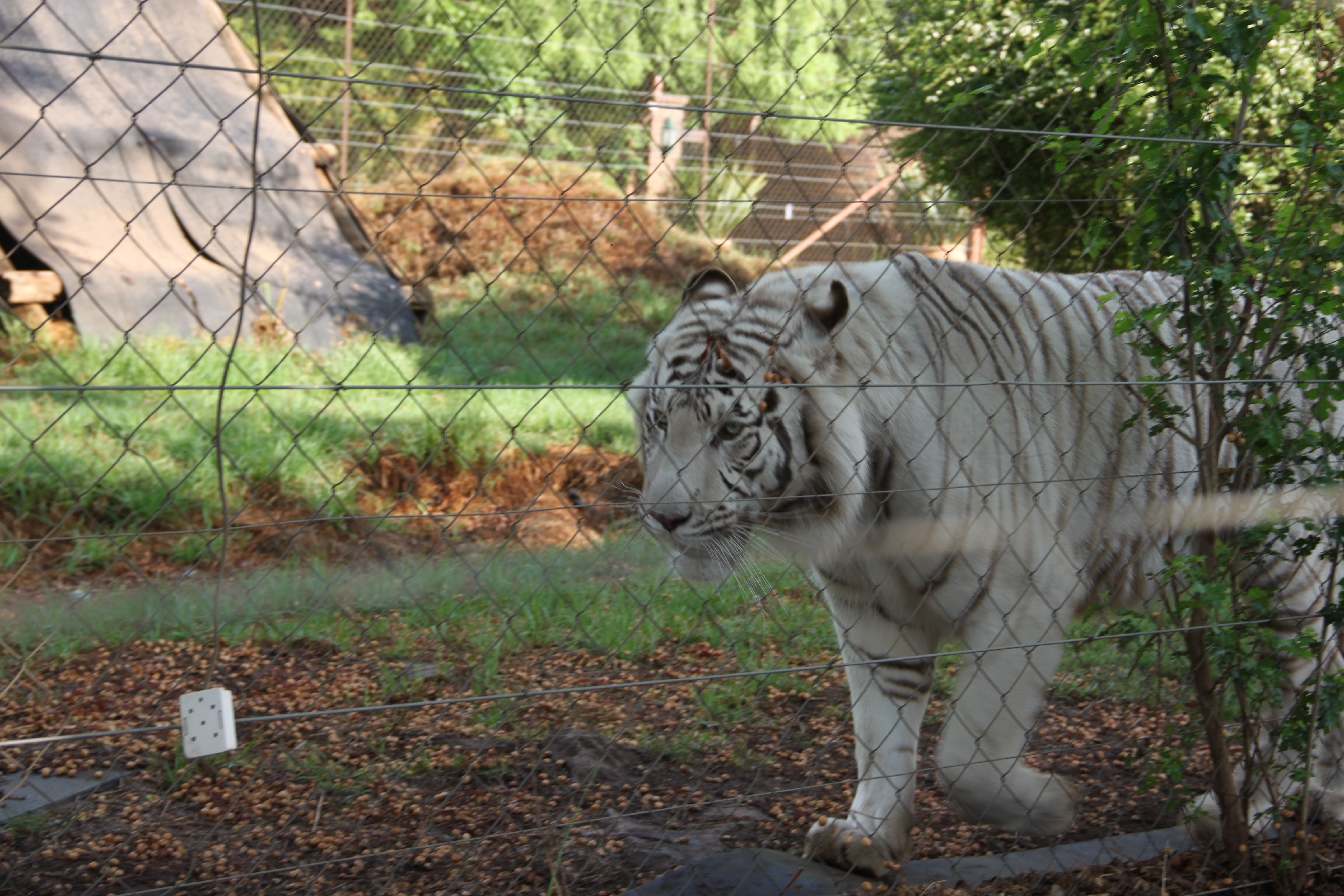 Tiger and rhino farms set to rise to meet Chinese demand (Nikkei Asian Review)