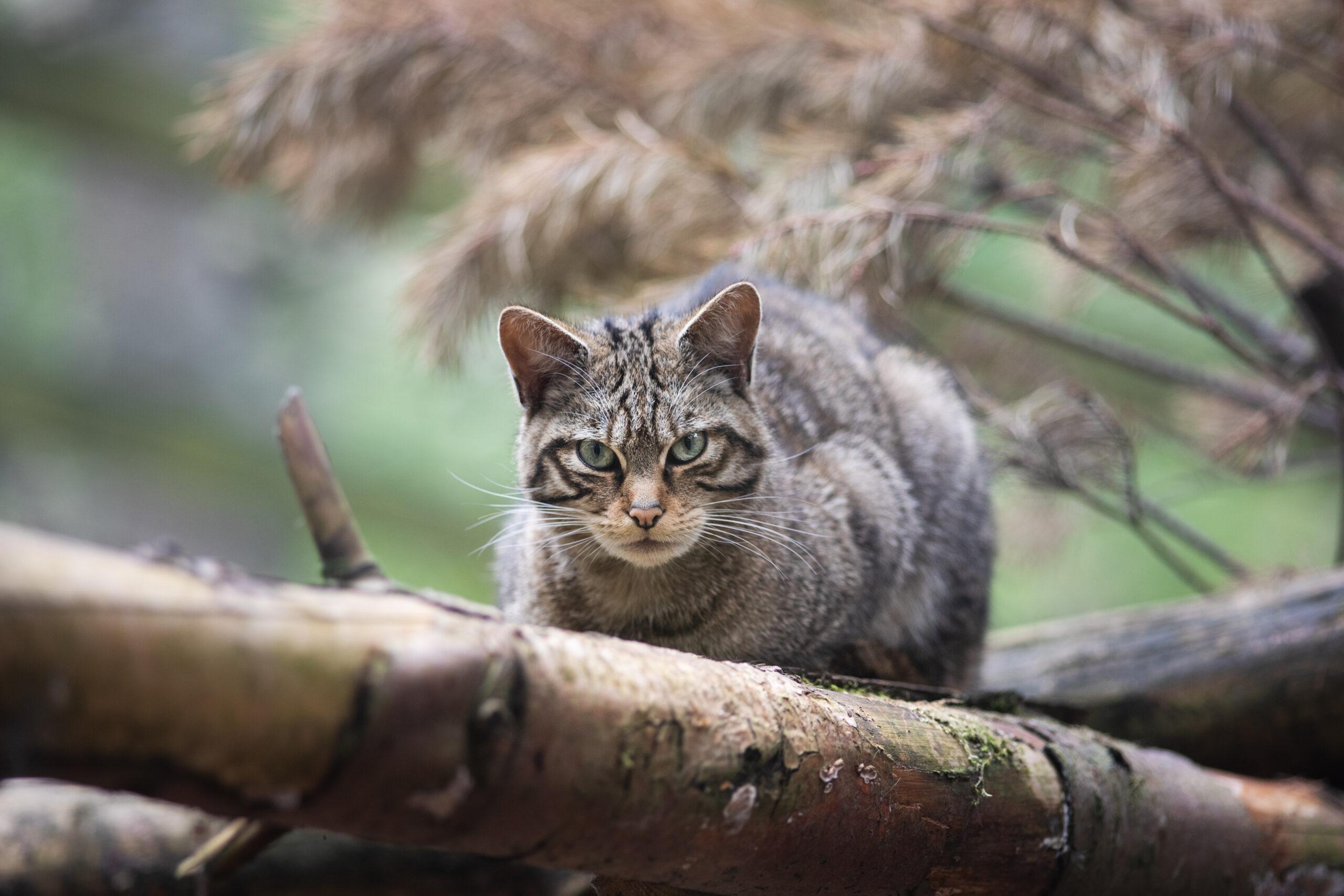 De 'Highland Tiger', het icoon van de Schotse Hooglanden, dreigt verloren te gaan. Maar er is nog hoop voor de wilde kat (National Geographic)