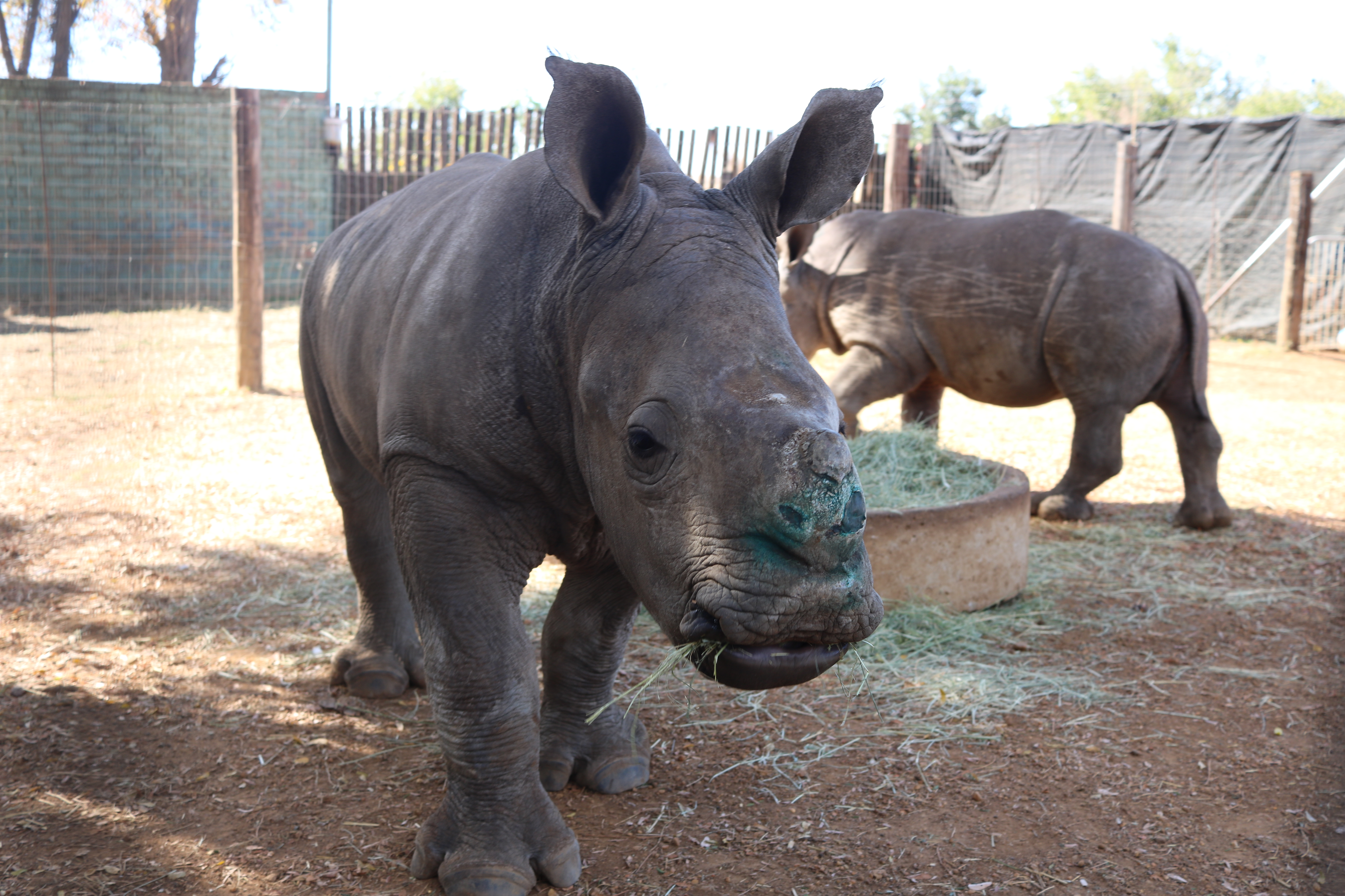 Asian demand surge feared as rhino horn auctions resume (Nikkei Asian Review)